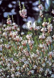 Mimmis blommor tulpaner - Fleur blanche longue tige ...