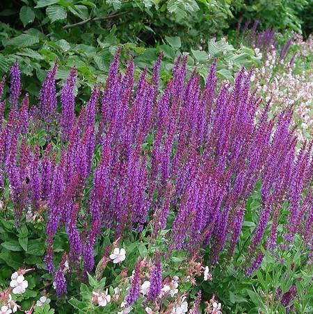 Bildresultat för lila stäppsalvia